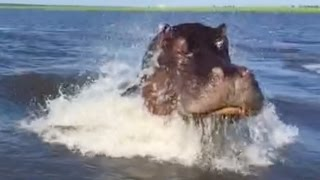 Angry Hippo Charges Tourist Boat
