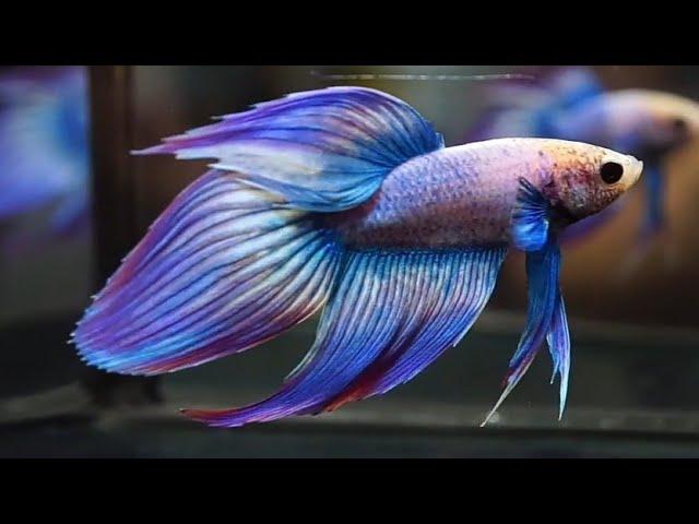 Ikan Cupang Veiltail Slayer Youtube
