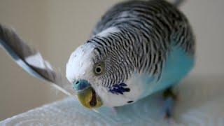 How to Train a Parakeet to Do Tricks