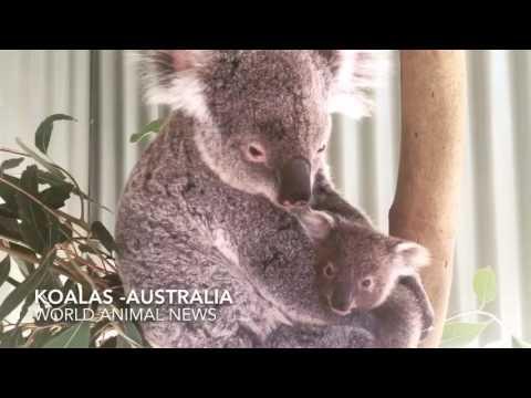 Baby Koala & Mom Australia -World Animal News