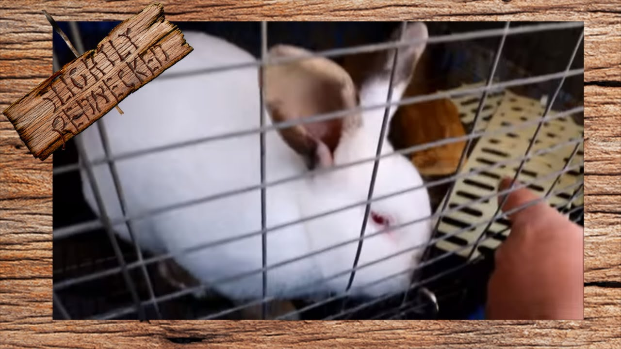 My Buck Rabbit Has Ear Mites - The SR Rabbit Update 3-26-18