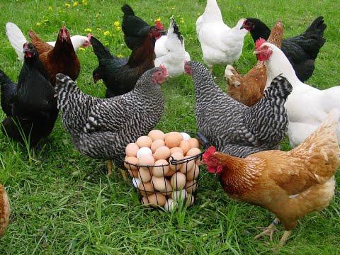 Чем кормить кур!! Витамины для кур!Кормление кур в домашних условиях!!!Несушка!!!Витаминная бомба!