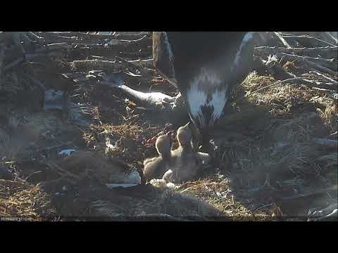 2018 05 26 First feeding of the day | Boulder County Osprey Cam