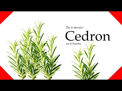 cedron planta en la huerta - la huertina ecocyn