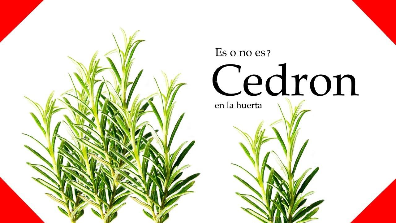 Cedron planta en la huerta la huertina ecocyn youtube - Hierba luisa en maceta ...