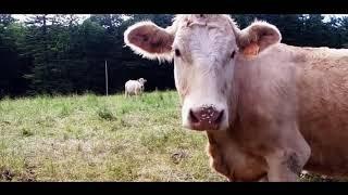 Дрон увидел странную деталь в стаде коров, которая в конечном итоге помогла...