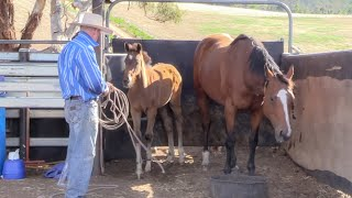 The Principles of Training: Handling Unweaned Thoroughbred Foals Part 1