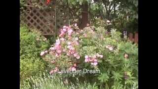 English Rose in My Garden