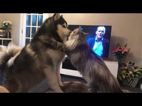 Cat KO's dog   full size battle!