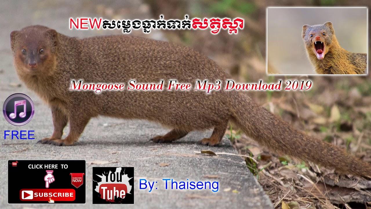 Cambodia Trape Sound Mongoose  mp4-សម្លេងធ្នាក់ទាក់សត្វស្កា