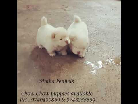Simha kennels - Chow chow puppies for sale in Bangalore 9743255559