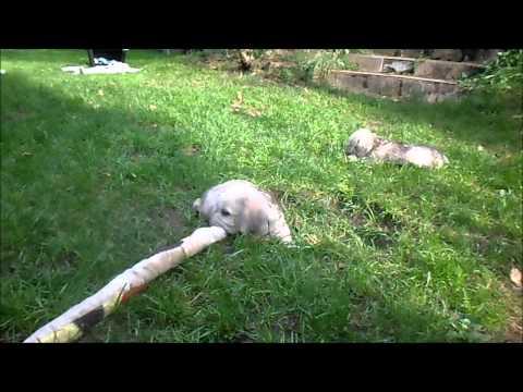 szczenięta rasy Dandie Dinmont Terrier