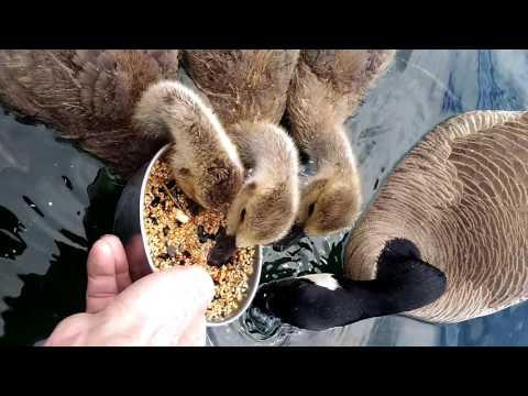 Feeding geese.
