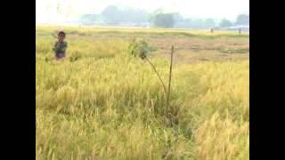 Folk rice Tulaipanji : West Bengal