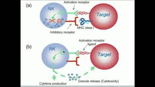 Natural Killer Cells: How Do They Kill Selectively?