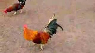 Hawaiian Chickens