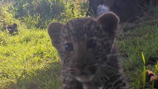 Trail Cameras Film African Leopard Cubs in Kenya