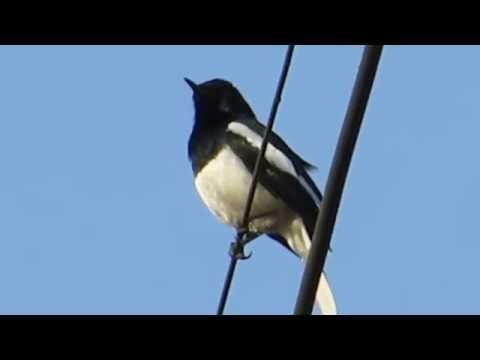 Oriental Magpie Robin Call HD