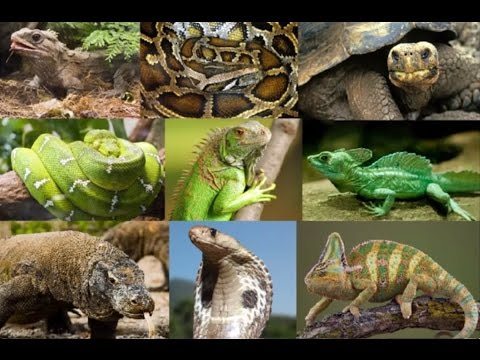 15 Amazing Facts About Reptiles - YouTube
