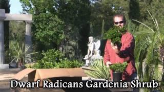 **Dwarf Radicans Gardenia Shrub**  ++  Fragrant jasmine White Flowers ++