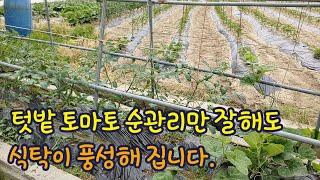 토마토 텃밭 관리 순 따주고 비료주기 유인줄 이정도만 …
