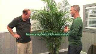 Plantz Profile Areca Palm