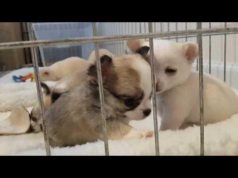 5 week Chihuahua puppies