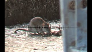 The Airgun Show – Hectic daytime rat shoot, PLUS top night hunting shots with Nite Site… thumbnail