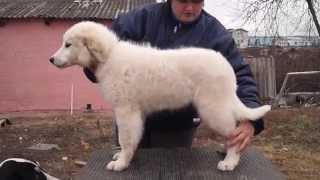 ЯКОГОР ШЕВИЛЬИ ЛАРЮ Пиренейская горная собака