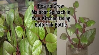 How to Grow Malabar Spinach (Alugbati) in Your Kitchen Using Softdrinks Bottle