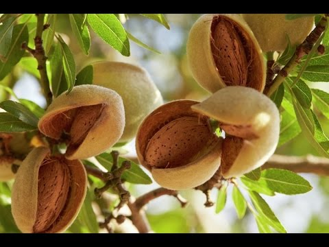 20_How to grow  Almond /बादाम की खेती [ GROWING ALMOND TREE BY CUTTING ] (Hindi video)