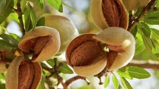 vuclip How to grow  Almond /बादाम की खेती [ GROWING ALMOND TREE BY CUTTING ]