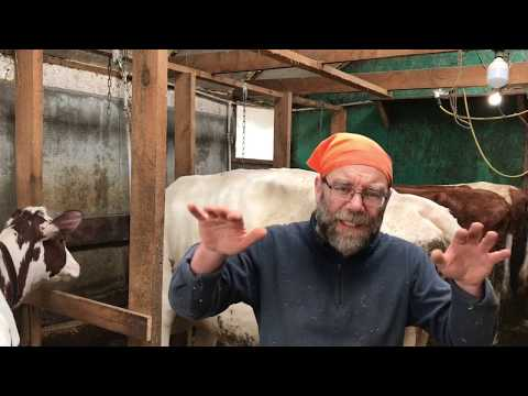 Содержание коровы в домашних условиях без выпаса
