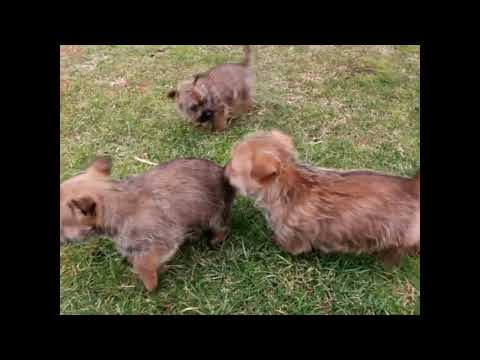 Cairn Terrier Puppies For Sale David Fisher