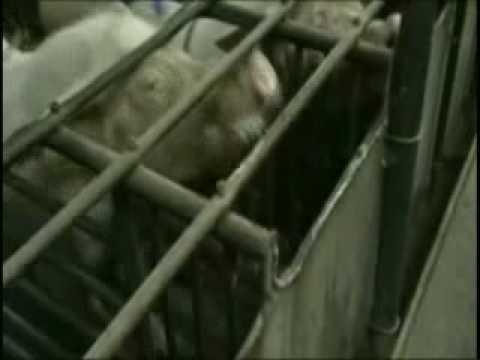 Les cochons victimes d'éleveurs hors la loi