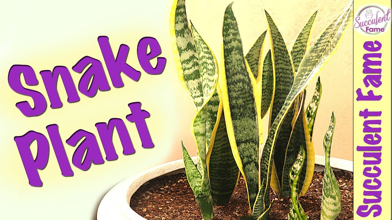 How to Propagate & Repot Snake Plants (Complete with ...