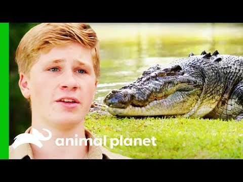 Moving The Biggest Croc At Australia Zoo | Crikey! It's The Irwins