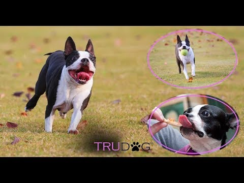 Ultimate Guide To Caring For Boston Terrier
