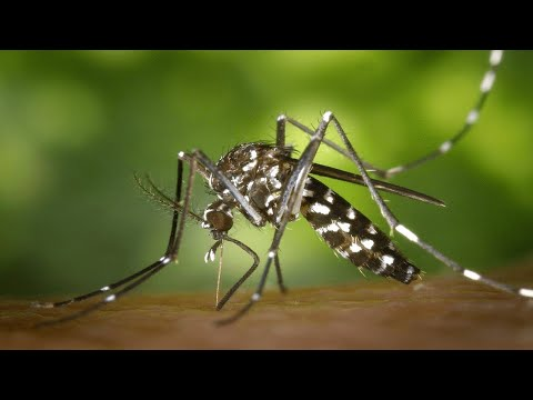 Life cycle of a mosquito