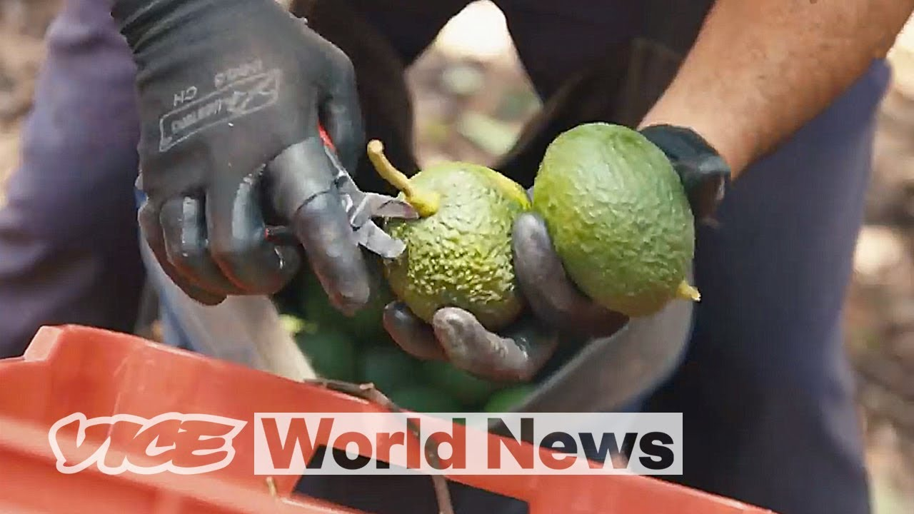 Defending Avocado Farms From Drug Cartels