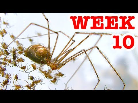 Scary Redback Spiders Meet Daddy Long Legs Cellar Spider Week 10