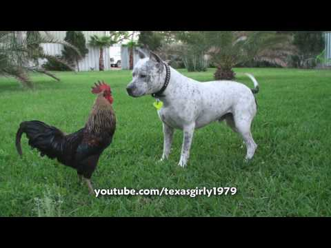 Pit Bull Sharky the Bodyguard Dog VS Mr. Rooster ATTACKS. HelensPets.com