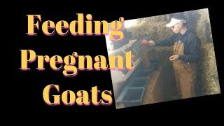 How to Feed Goats at the End of Pregnancy
