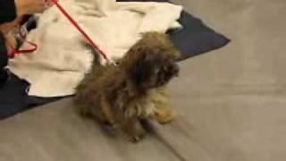 Louie, Shih Tzu Yorkie Mix, Puppy Pre-school