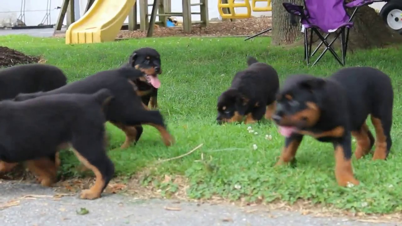 Rottweiler Puppies For Sale - YouTube