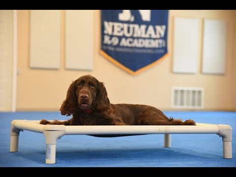 Wally (Field Spaniel) Puppy Camp Dog Training Video Demonstration