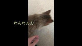 【びびビデオ】びび様の日課。猫砂を散らかす thumbnail