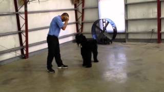 Giant Schnauzer Obedience Demo Affordable Protection Trained Dog For Sale
