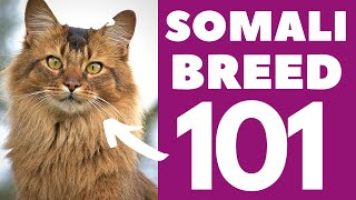 Somali Cat 101 : Breed & Personality
