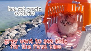 what is the reaction of persian cat going to sea side for first time   gray British persian
